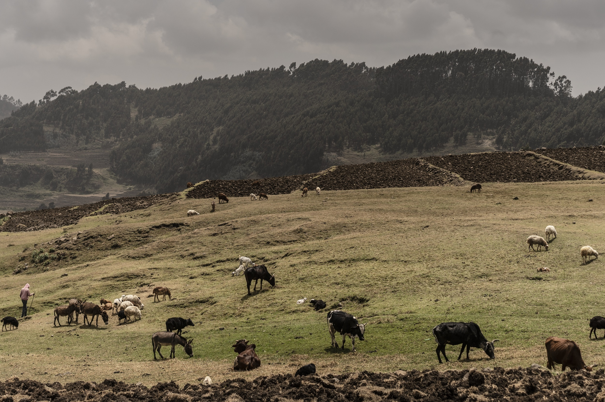 Animals grazing in a field in the Ethiopian highlands in Elsa Kebele Ethiopia