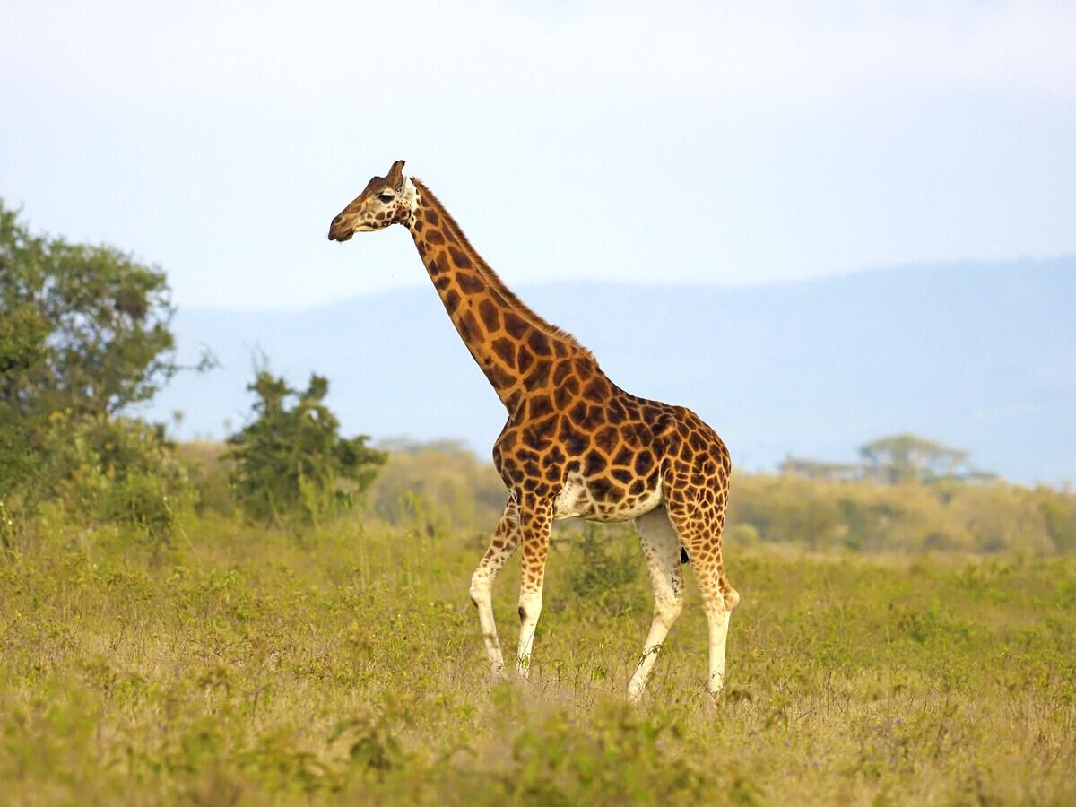 A Rothschilds giraffe in an open field