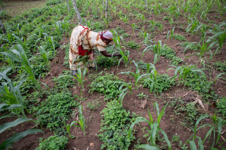 A woman harvesting crops in a field