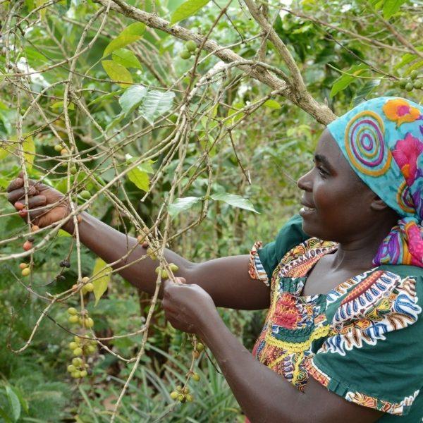Donatha harvesting coffee