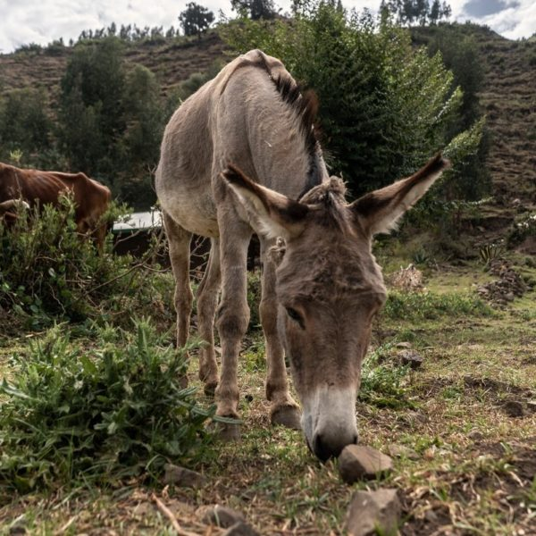 Zemuye Yimer s donkey grazes